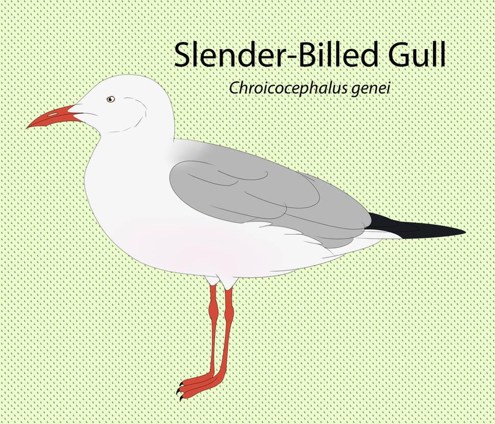 Slender Billed Gull Chart by seagaull