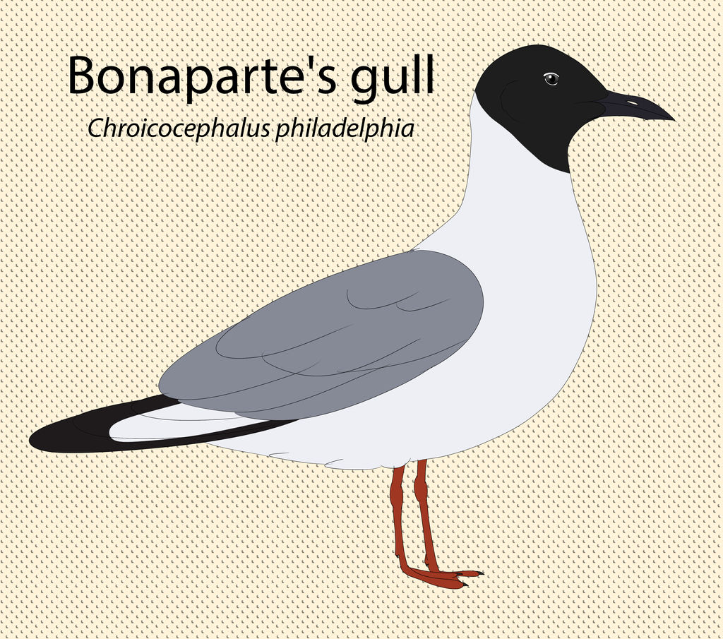 Bonaparte's gull by seagaull