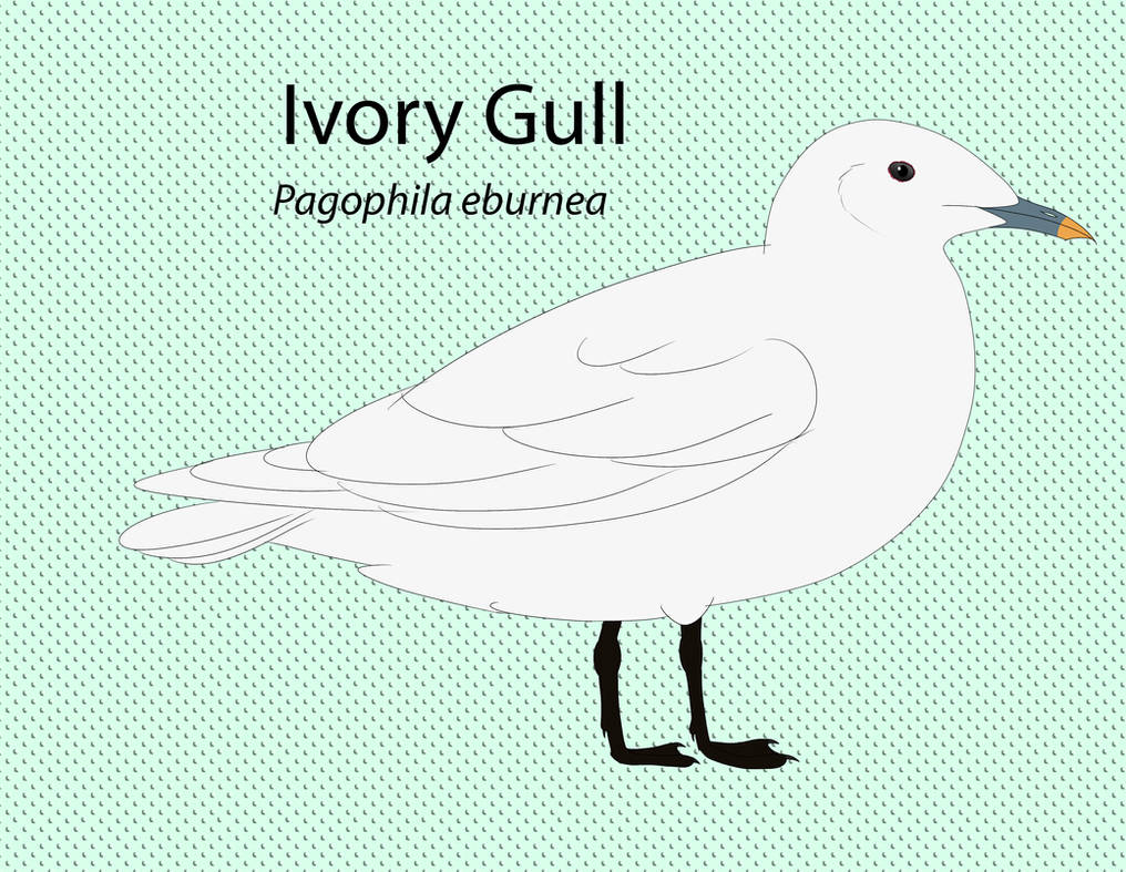 Ivory Gull Chart by seagaull