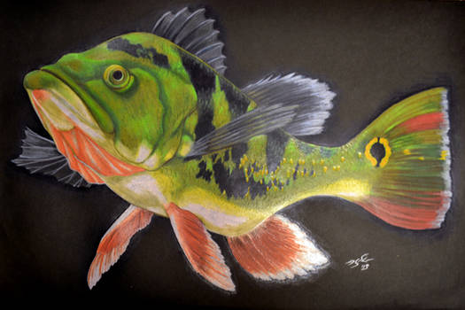 Argus Peacock Bass Memorial Portrait