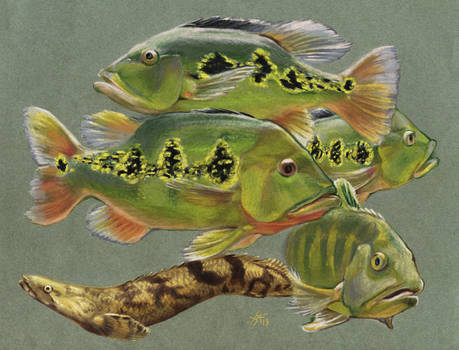 Peacock Bass and Bichir