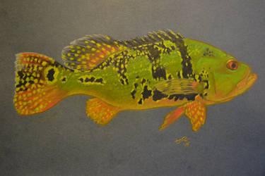Kelberi Peacock Bass
