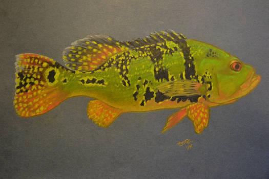 Kelberi Peacock Bass