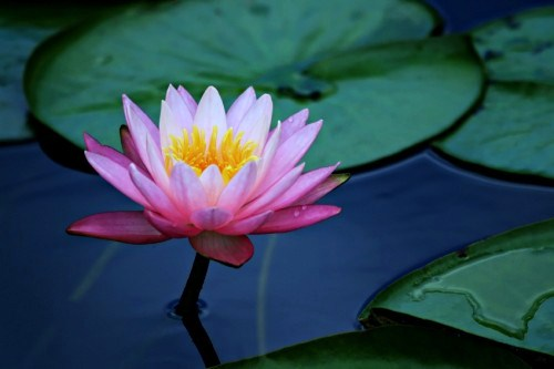 lotus yet again by LimKitSoon