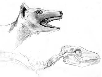 Taxidermy Thylacine with Skull by LemniscateSnake