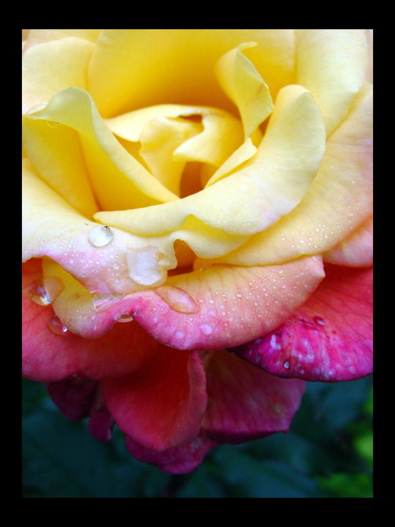 Morning Rose 1 by drivebybiped