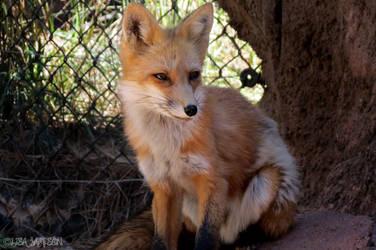 Fox by PepstarsWorld
