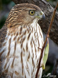 Cooper Hawk Close Up by Pepstar by PepstarsWorld