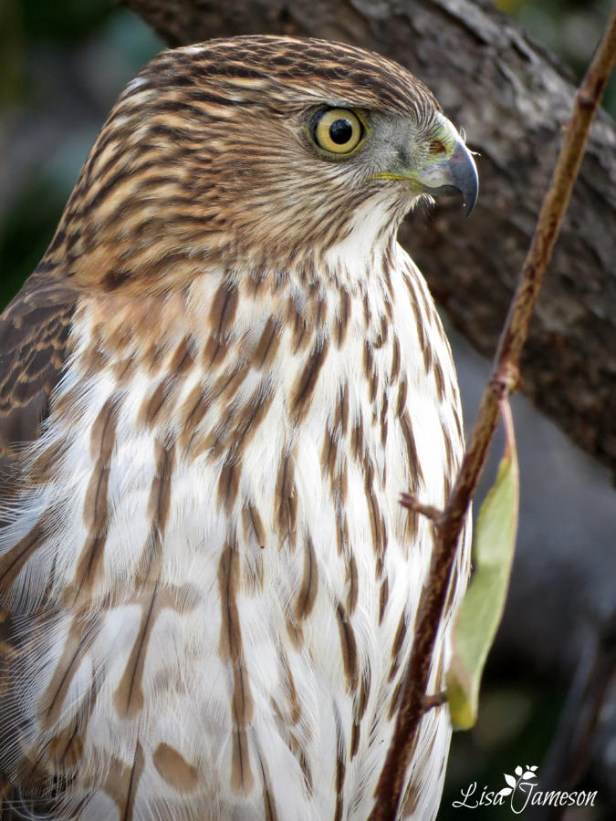 Cooper Hawk Close Up by Pepstar