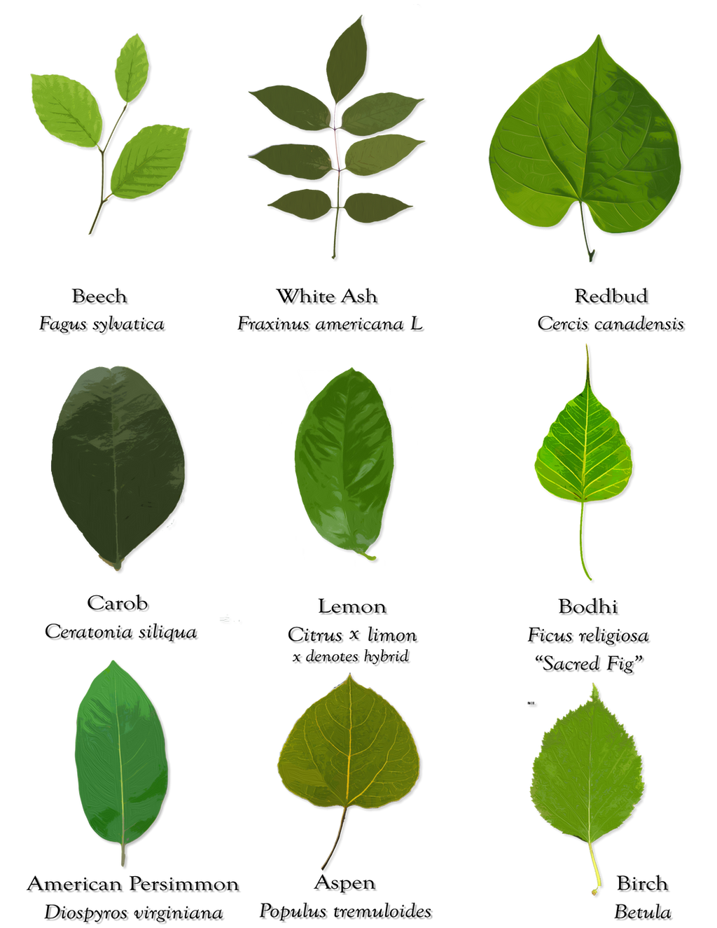 Kinds Of Trees With  Letters
