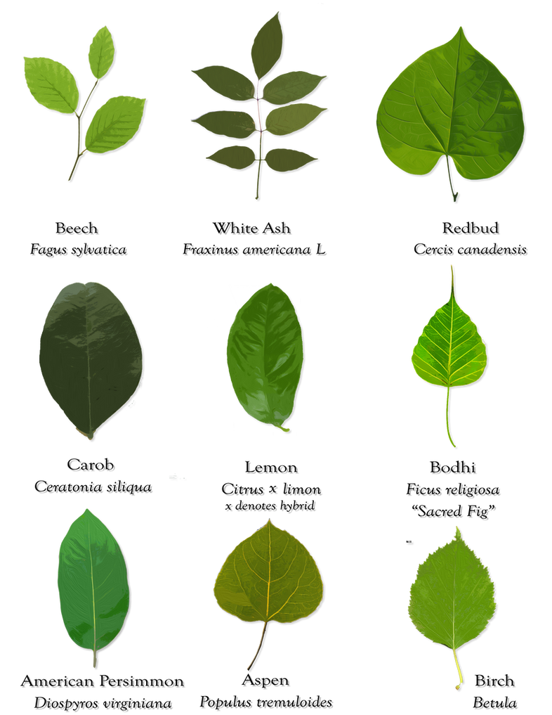 Leaves And Their Scientific Names By Starshinesuckerpunch On Deviantart