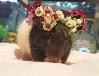 flower crown on my rat zenon by expellingsecrets