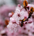 Cherry Blossom by jin-tze