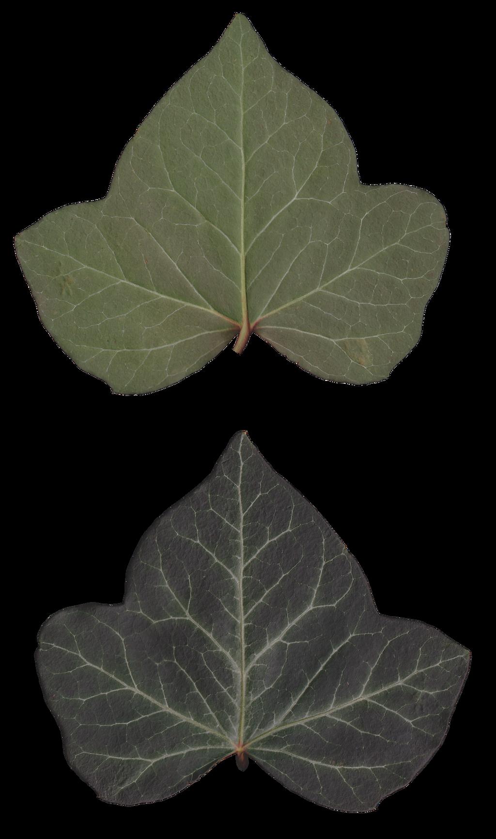 CC0 Ivy leaf texture