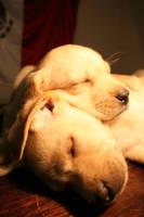 cachorros labrador by mskmx