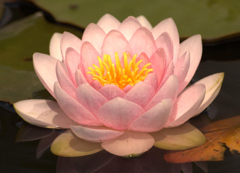 Lotus by czakalwe