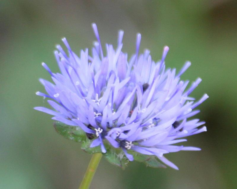 Wild flower by czakalwe