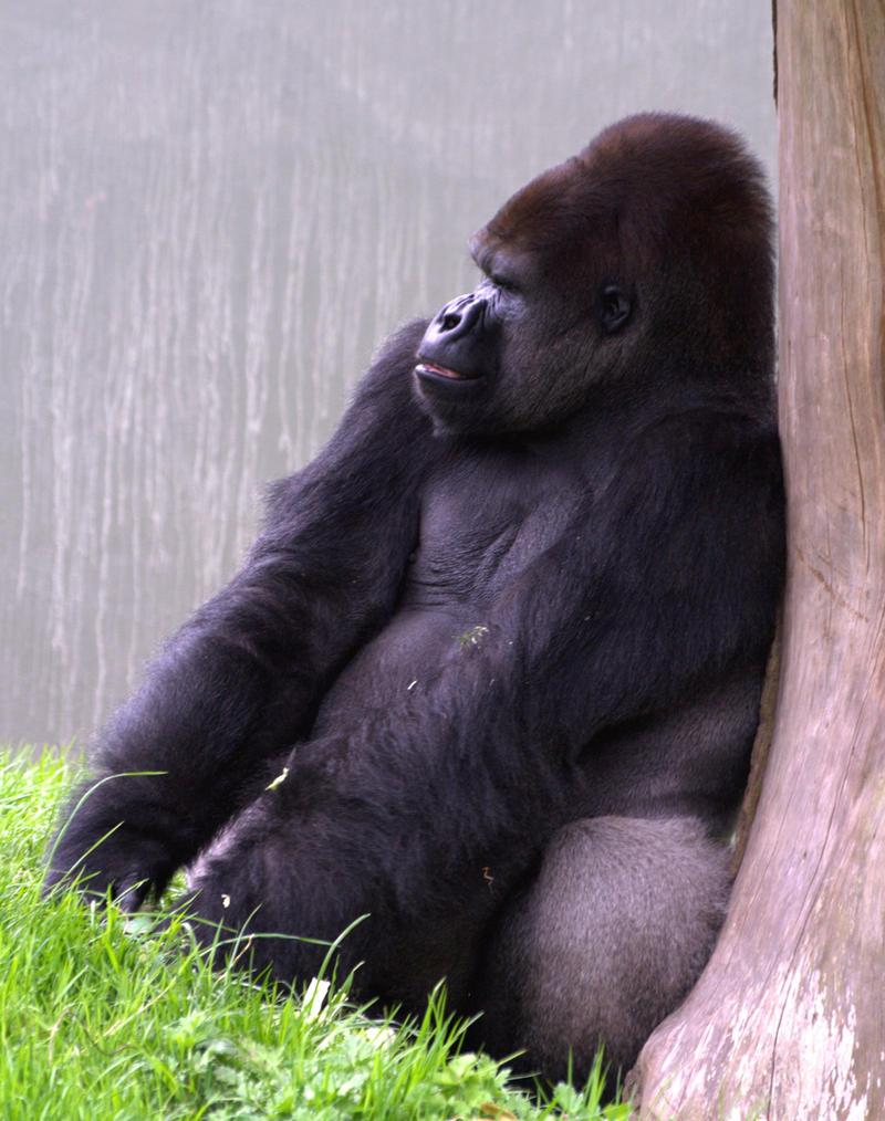 gorilla by czakalwe