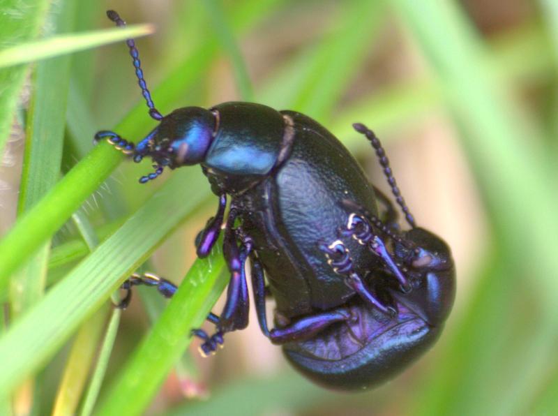 beetles by czakalwe