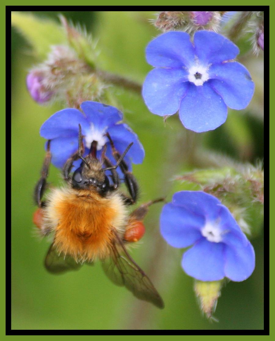 bumblebee by czakalwe