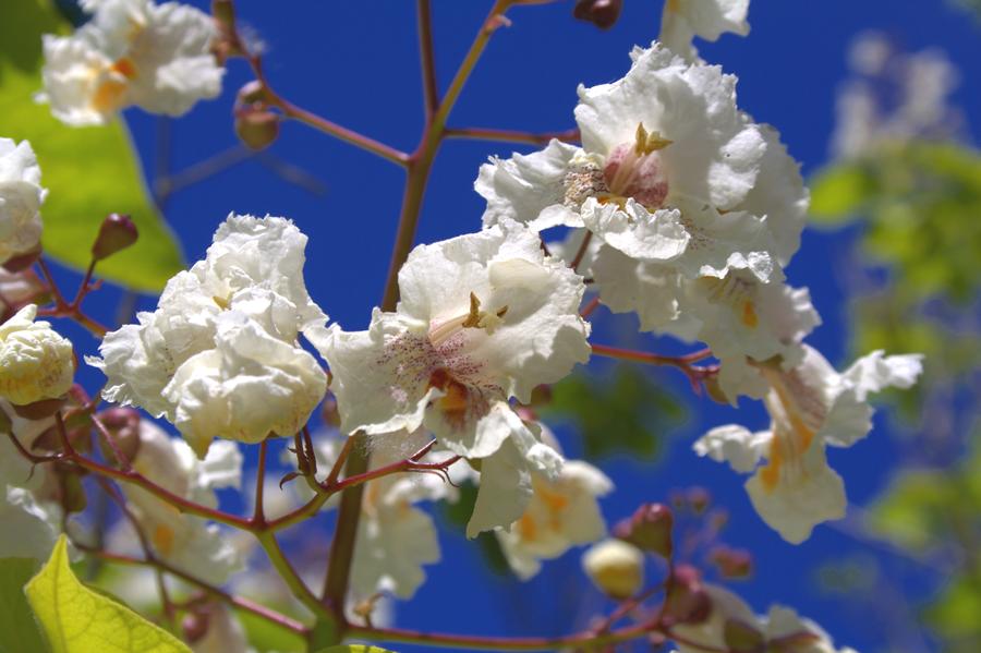 Blue skies blossom by czakalwe
