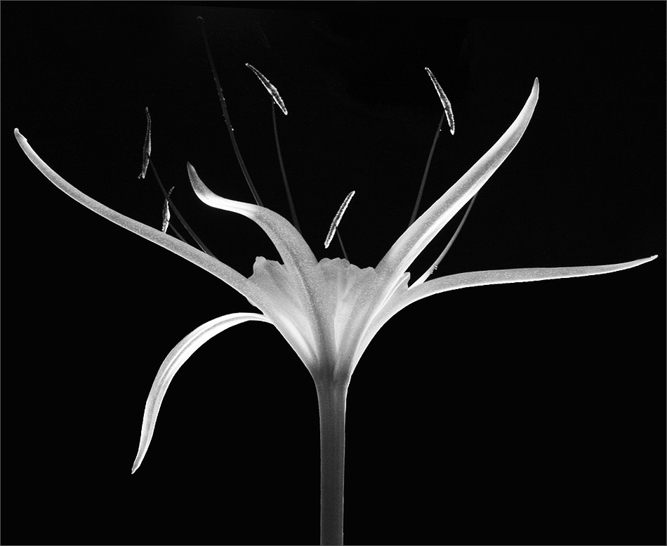 Abstract Black And White Flower Photography Abstract Black And White 5 by