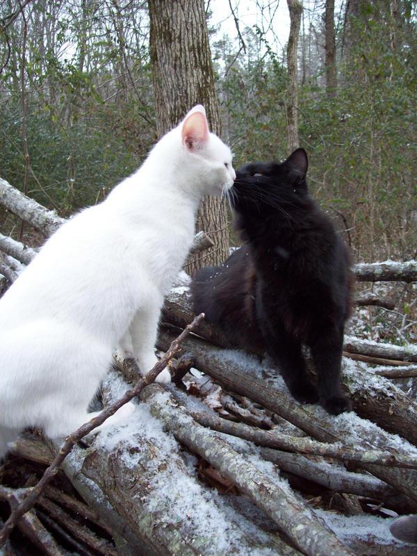 Kissing Snow Cats -Stock by Rainny-Stock