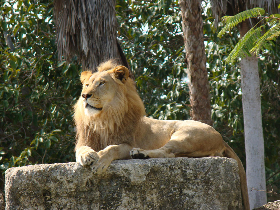 King of Pride Rock by KittMouri