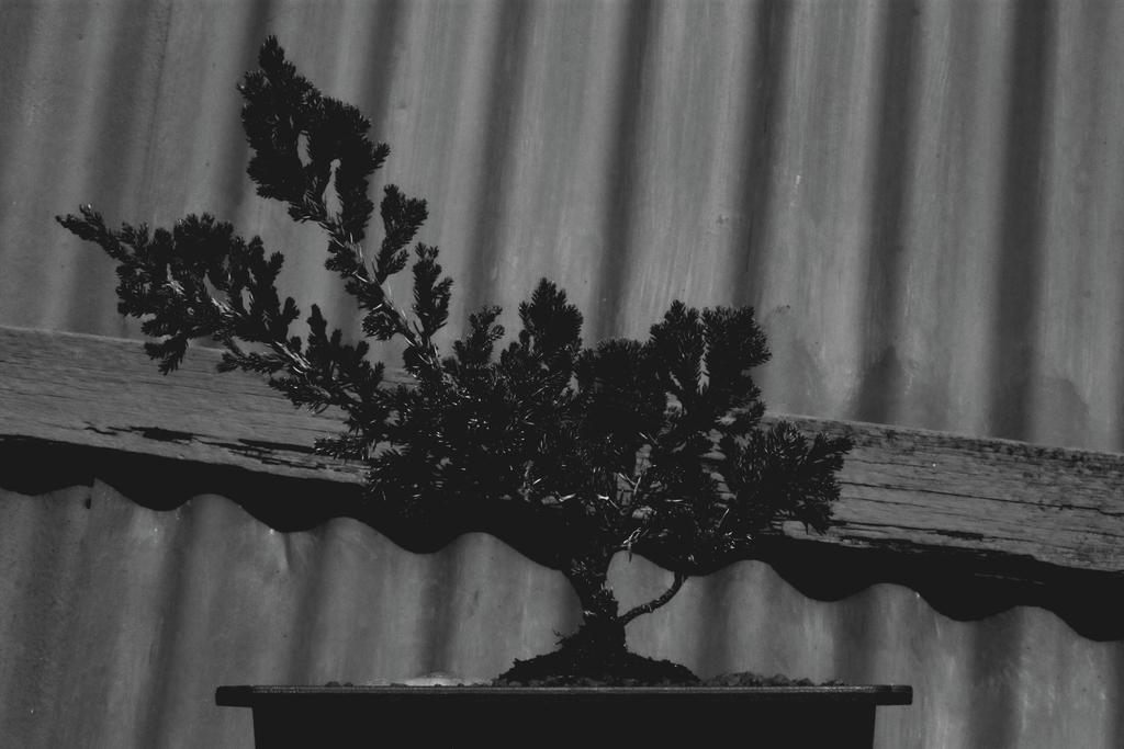 Bonsai by chin-IX