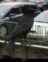 STOCK Crow 1 by violetsteel