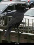 STOCK Crow 1
