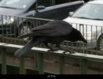 STOCK Crow 2