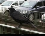 STOCK Crow 3