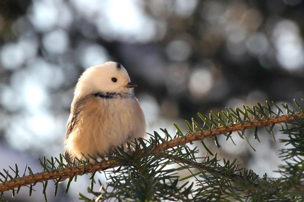 Leucistic Black-Capped Chickadee by GreenerPhotography