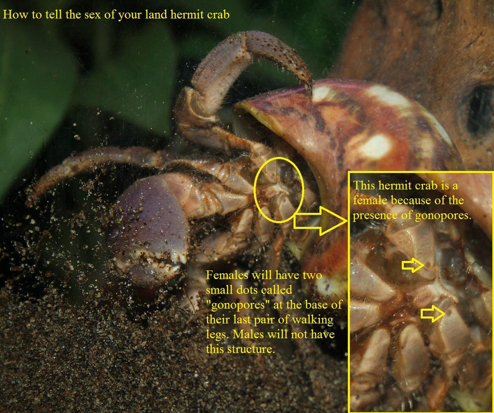 How to tell sex of hermit crab