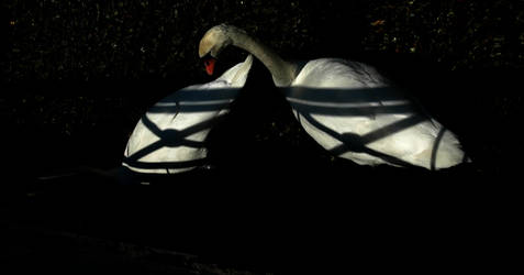 Two Swans by sipsis