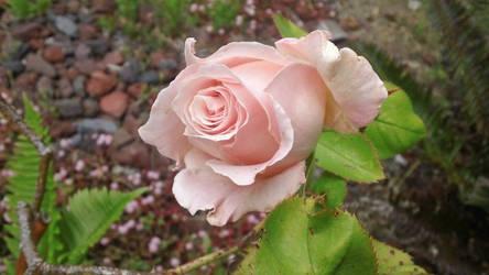 A Rose for a Peach