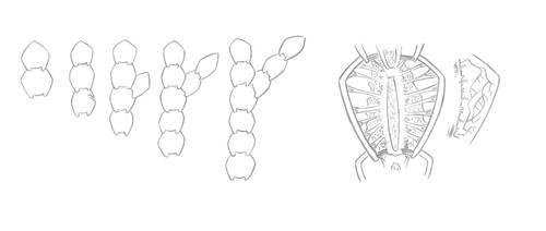 Zainter - Sheath Grass Anatomy by Zerraspace