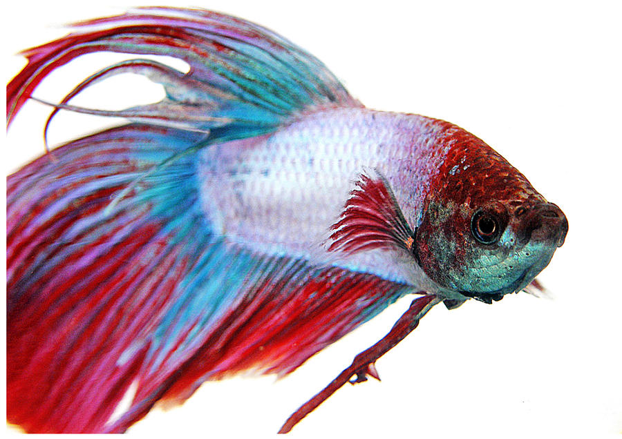 Fighter fish photo by rae134 on deviantart for Japanese fighter fish