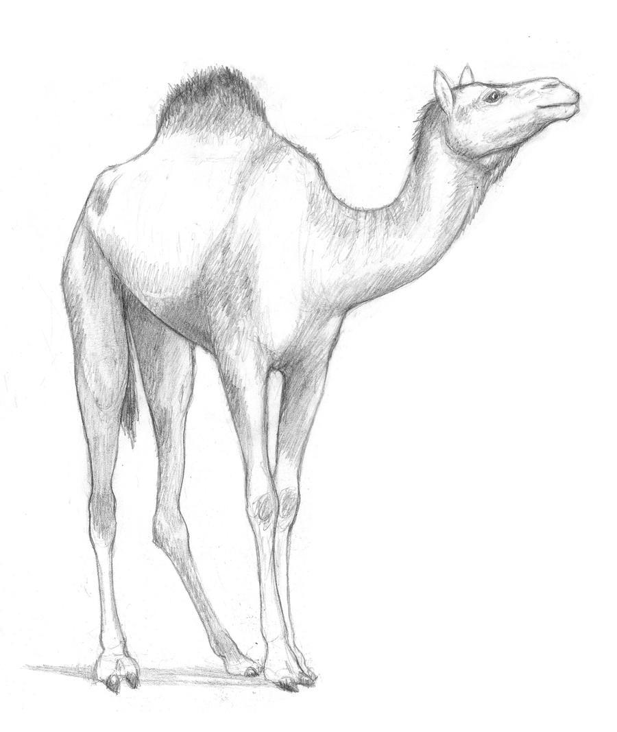 Uncategorized Camel Drawings dromedary camel by talonv on deviantart talonv