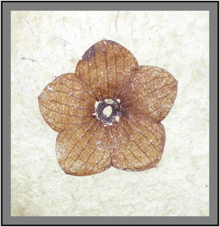 SR Fossil: Lobed Florissantia by paleoichneum