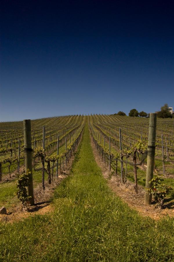 Vineyard in California by happeningstock