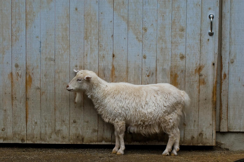 Goat with Wooden Barn Door by happeningstock