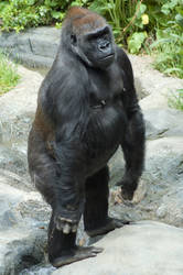Male Gorilla Standing Up by happeningstock