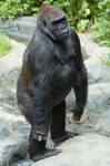 Male Gorilla Standing Up