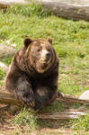 Brown Bear on Log