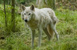Wolf Standing Up on Grass