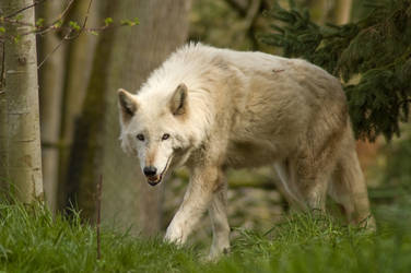 Wolf Standing Up in Grass 2
