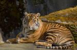 Tiger Laying Down