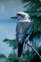 Kookaburra Bird Looking Back by happeningstock